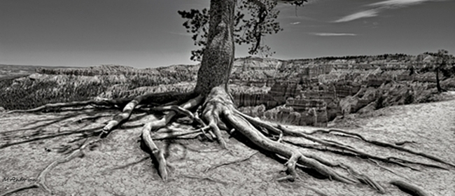Canyon Roots